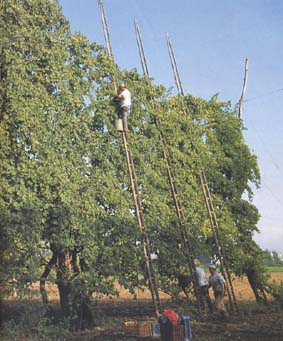 Harvesting Asprinio di Aversa (AKA Greco) Grapes Image Courtesy of the Town of Aversa
